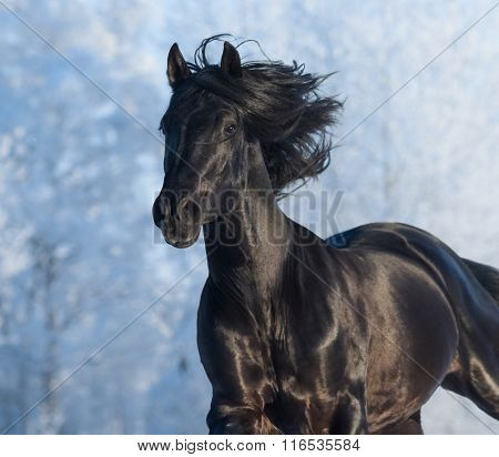 Black purebred horse running fast gallop