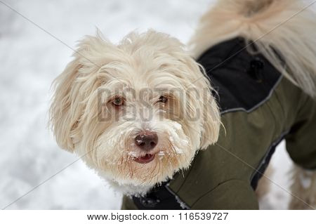 Havanese Dog With Coat In Snow In Winter