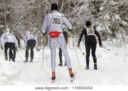 STOCKHOLM - JAN 24 2016: Rear view of a group of cross country skiing men and women in the beautiful spruce forest at the Stockholm Ski Marathon event January 24 2016 in Stockholm Sweden