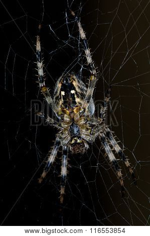 Diadem spider on web