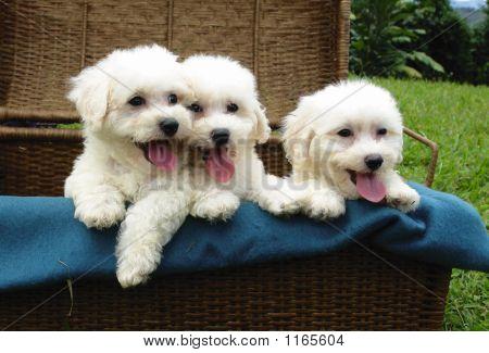 Bichon Cachorros