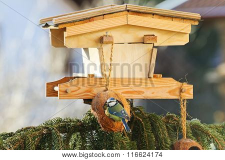 Cute Eurasian Blue Tit bird (Parus Caeruleus) perching on coconut Shell suet treats hanging at bird feeder decorated with pine tree branches