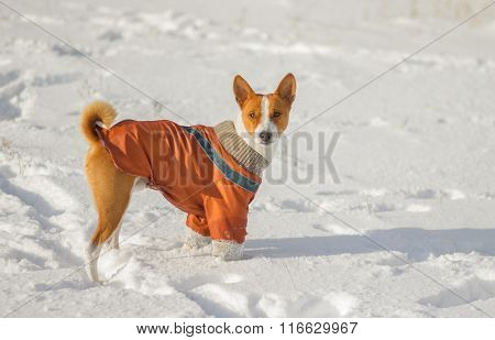Cute African basenji dog irresolute to play in fresh snow
