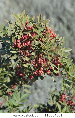 Mastic Tree with Red Berries - Pistacia lentiscus poster