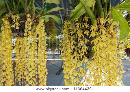 Beautiful yellow orchids flower tree (Coelogyne rochussenii) on the farm.