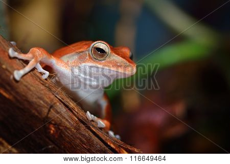 Common Tree Frog Polypedates Leucomystax In Terrarium