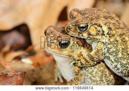 African Common Toad Amietophrynus Gutturalis Mating