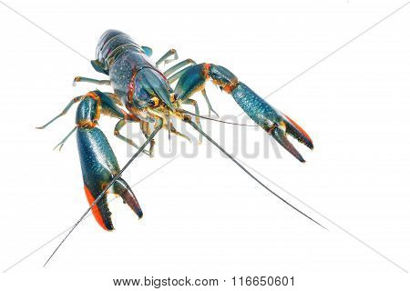 Australian Blue Crayfish Cherax Quadricarinatus Isolated