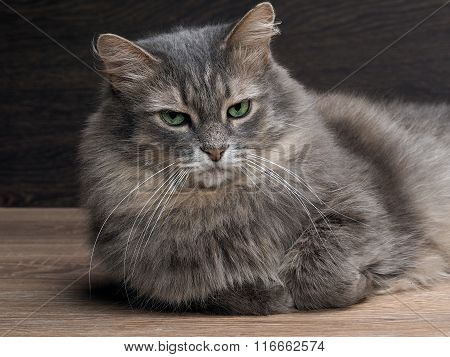 Portrait of a large, disgruntled cat.