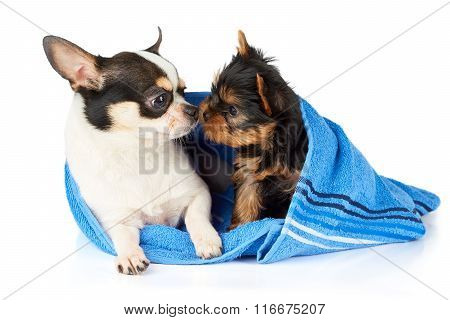 Chihuahua And Yorkshire Terrier