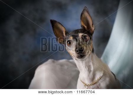 Portrait Of A Toy Fox Terrier On Blue