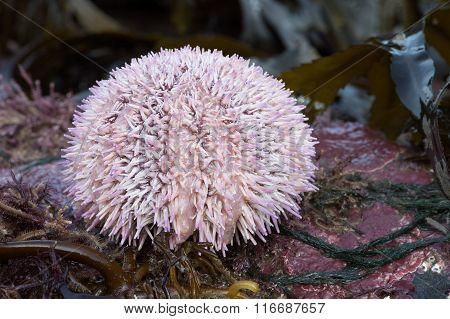 Common Sea Urchin (Echinus Esculentus)