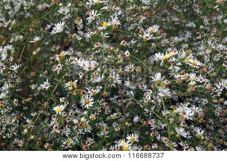 Frost asters (Symphyotrichum pilosum), also called hair asters and hairy white oldfield asters, blooming in Joliet, Illinois, during October. poster