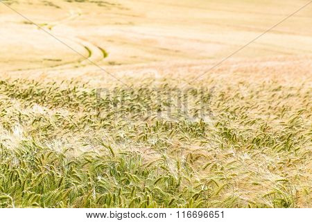 Growing Cornfield and Path to the Horizon