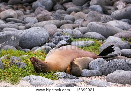 Mother And Baby Galapagos Sea Lions Lying On North Seymour Island, Galapagos National Park, Ecuador