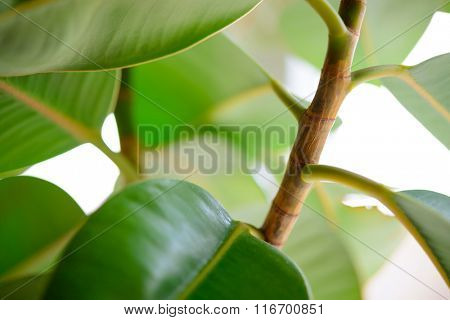 Green Leafs of Pipal Plant on the White Background