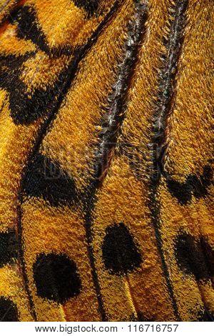 Cardinal, Argynnis Pandora Butterfly Wing Pattern