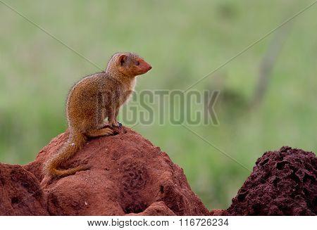 Dwarf mongoose on a termite mound