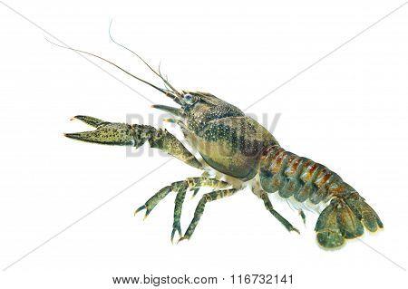 American Spiny-cheek Crayfish (orconectes Limosus) Invasive To Europe
