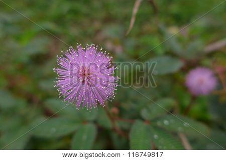 mimosa