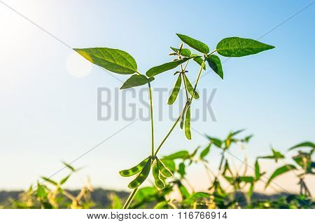 Green Growing Soybeans