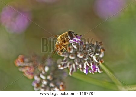 Beeslavender1