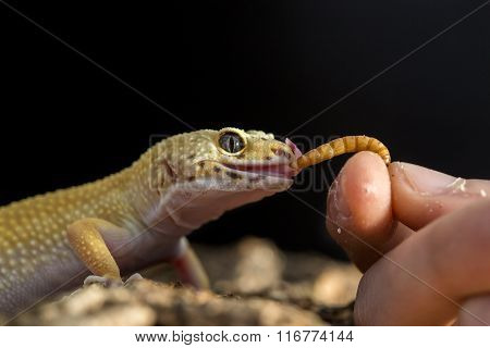 Leopard Gecko Eating A Mealworm From The Hand