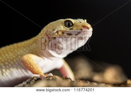 Frontal Closeup View Of A Leopard Gecko