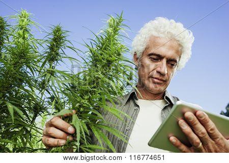 Farmer In A Hemp Field Using A Tablet