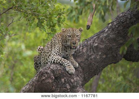 Leopard Lookout