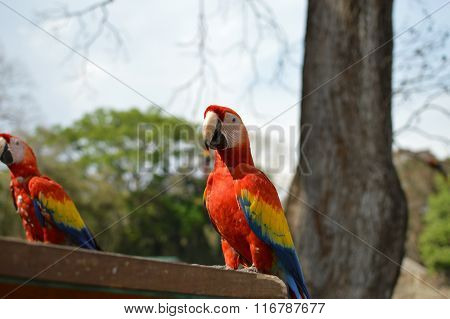 Macaw parrots come for feeding to the archaeological site of Copan Ruins in Western Honduras