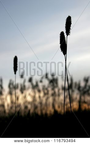 Silhouette Of Steppe Grasses. Human Relationships Love Triangle Third Superfluous
