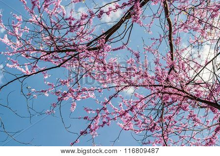 Redbud Tree Branches Blossoming