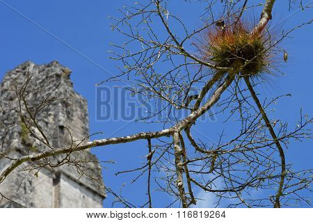 Colorful Branch Of The Tree In Tikal National Park And Archaelogical Site Of Maya Civilisation, Guat