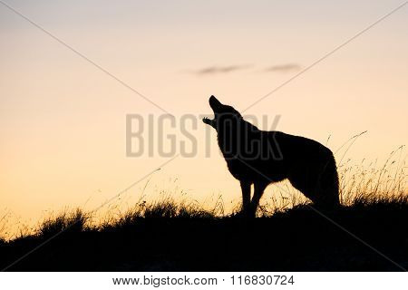 Silhouette Coyote howling at sunrise