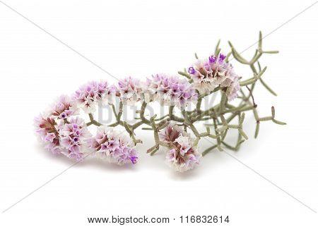 Limonium Papillatum