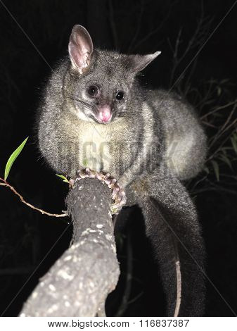Brush tail possum