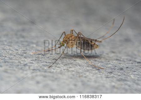 A Mosquito macro photo