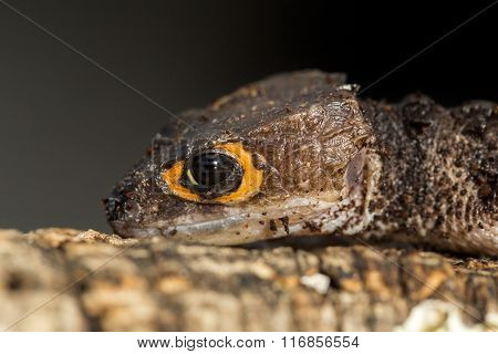 Detail Of The Head Of A Red Eyed Crocodile Skink