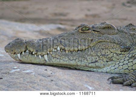 Nile Crocodile (Crocodylus Niloticus)