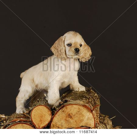poster of cocker spaniel puppy standing on pile of wood
