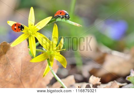 Ladybugs On Spring  Flowers In Forest