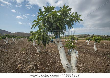 Grafting mango tree