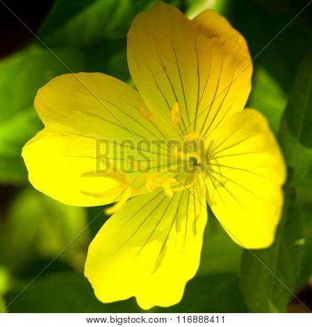 Gentle evening primrose flower