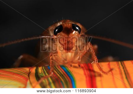portrait of a cockroach on pencil with focus in eyes