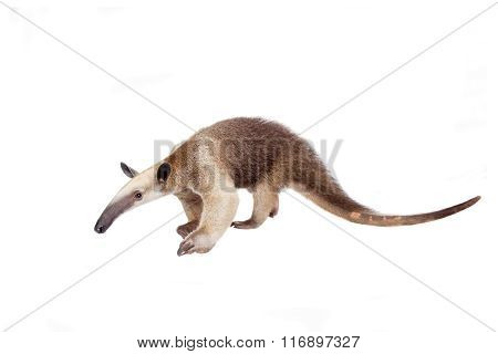 Collared Anteater, Tamandua tetradactyla on white