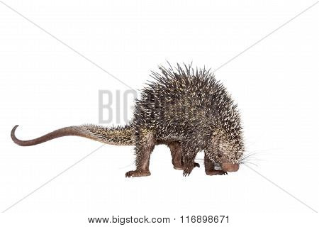 Brazilian Porcupine, Coendou prehensilis, isolated on white background poster