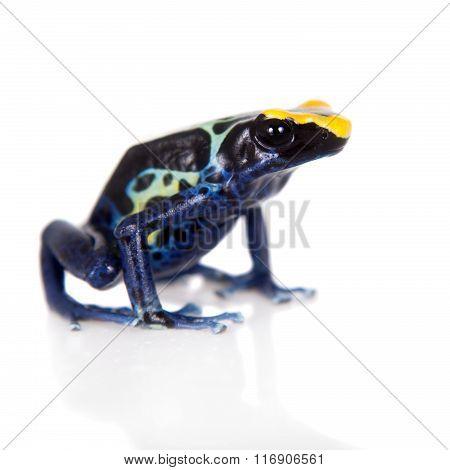 Robertus dyeing poison dart frog, Dendrobates tinctorius, on white