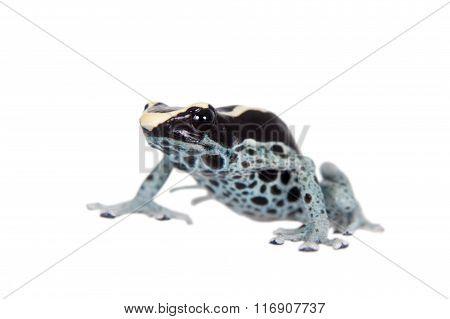Awarape Dyeing Poison dart frog, Dendrobates tinctorius, on white