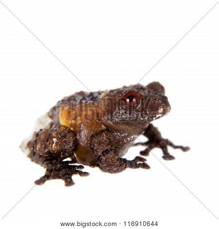 Asian bird poop frog, Theloderma asperum, on white